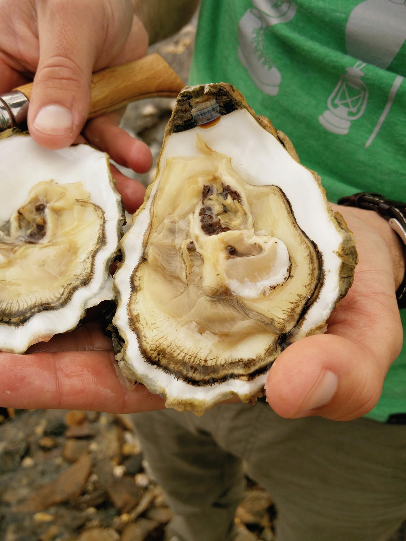 Dégustation d'huîtres sur la presqu'île de crozon