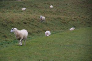 Les moutons des Seven Sisters