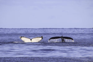 Où voir des baleines en Australie