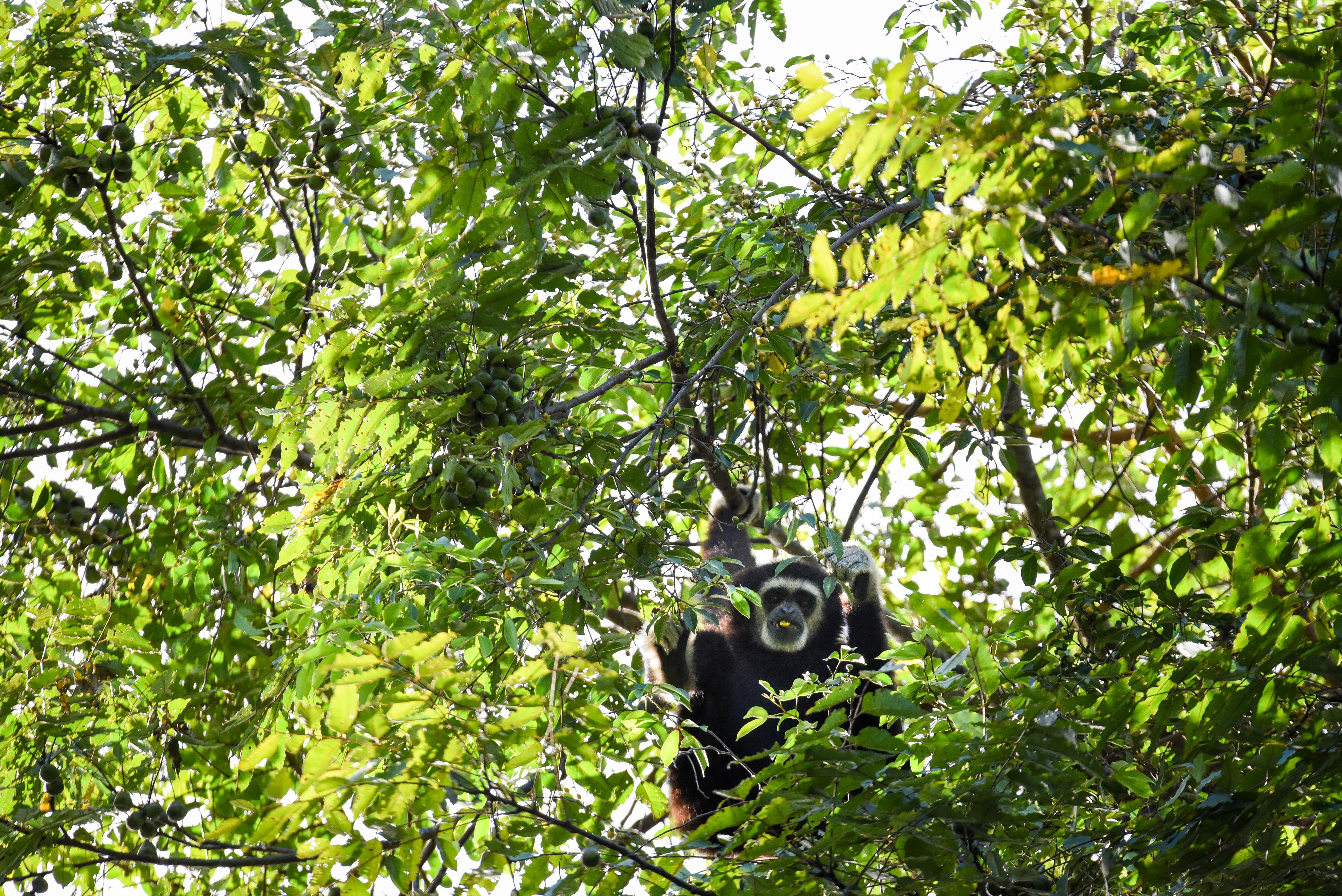 Gibbon croisé à Khao Yai @neweyes