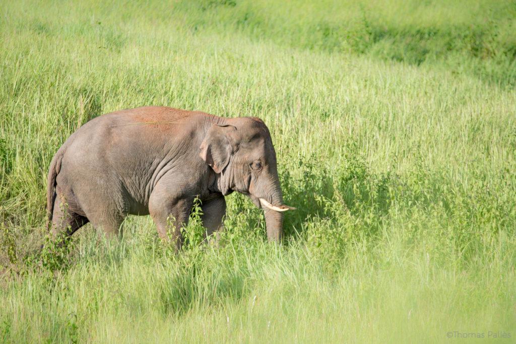 Éléphant sauvage à Khao Yai @neweyes
