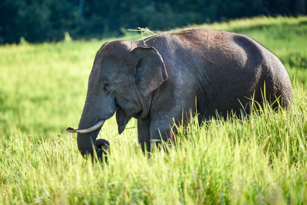 L'éléphant libre et heureux de Khao Yai @neweyes