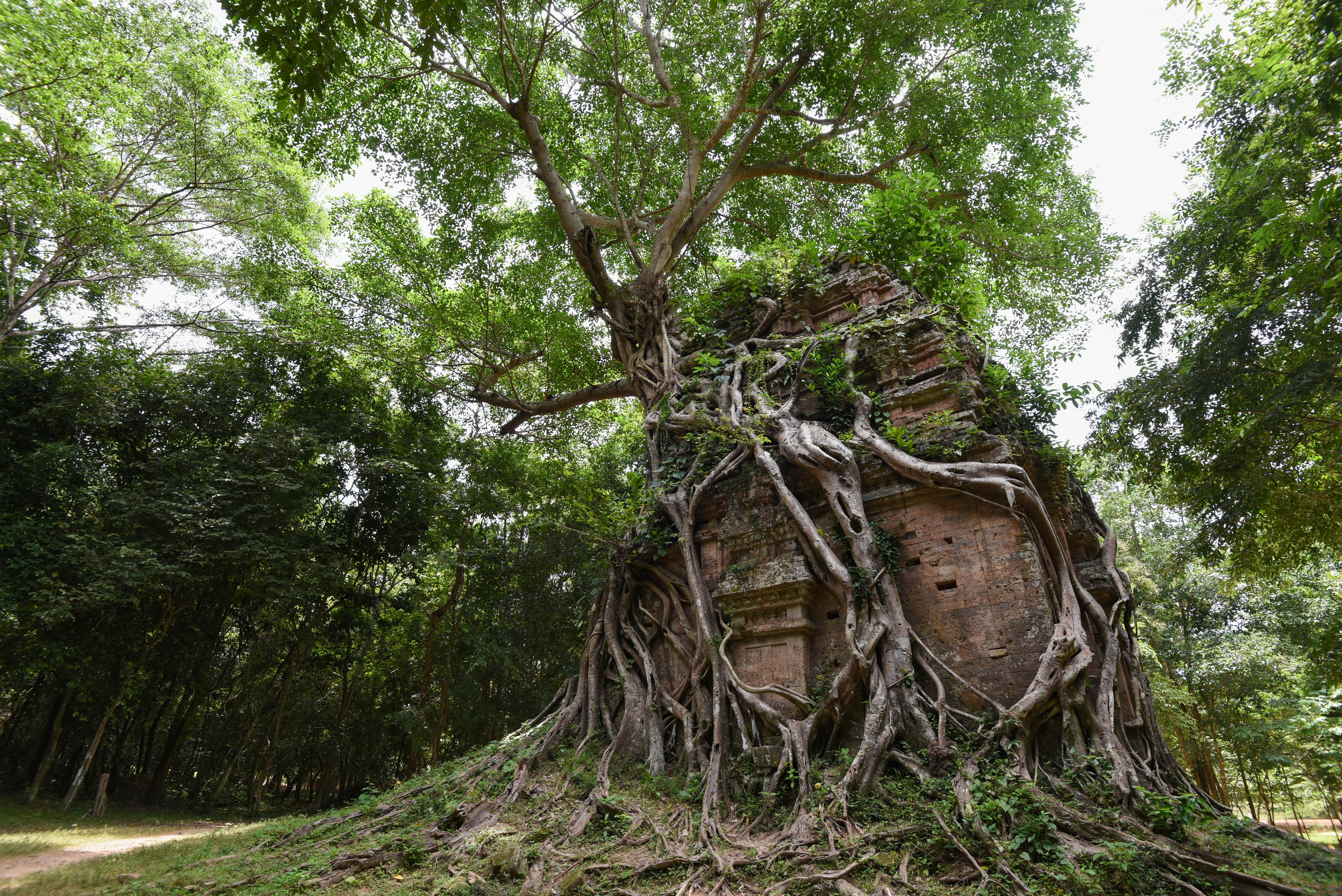 L'arbre qui englouti un temple à Sambor Prei Kuk
