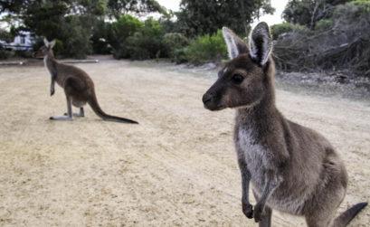 Les animaux que l'on voit seulement en voyage en Australie