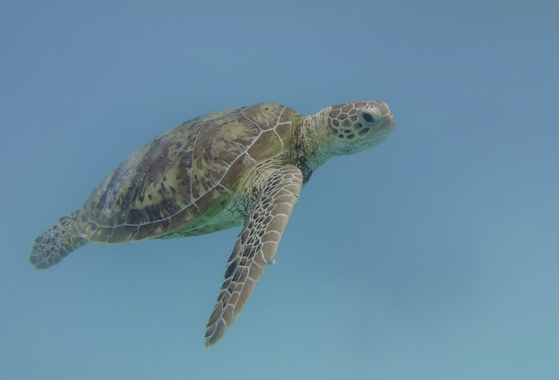 tortue en Australie durant notre voyage