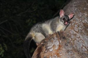 Possum en Australie