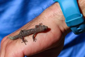 Gecko marbré en Australie