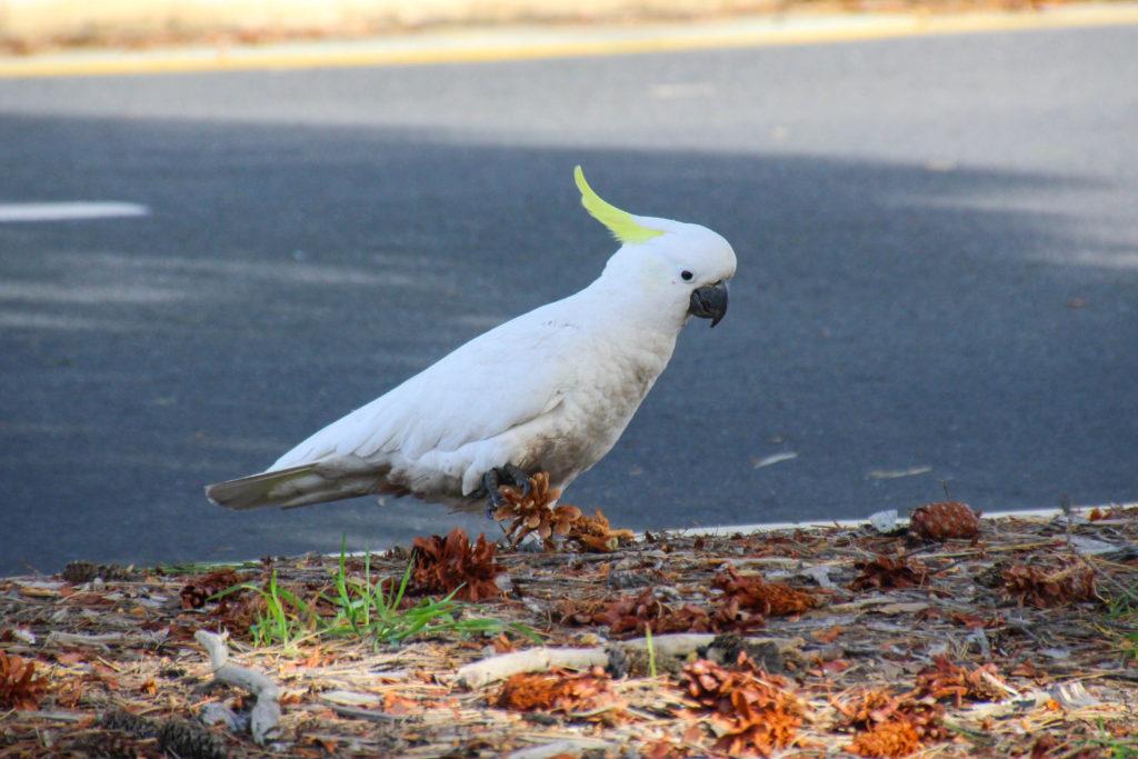 Cacatoès à huppe jaune en Australie