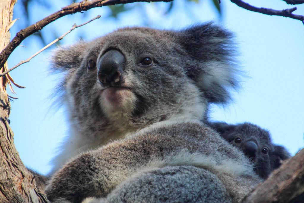 koala et son petit en Asutralie