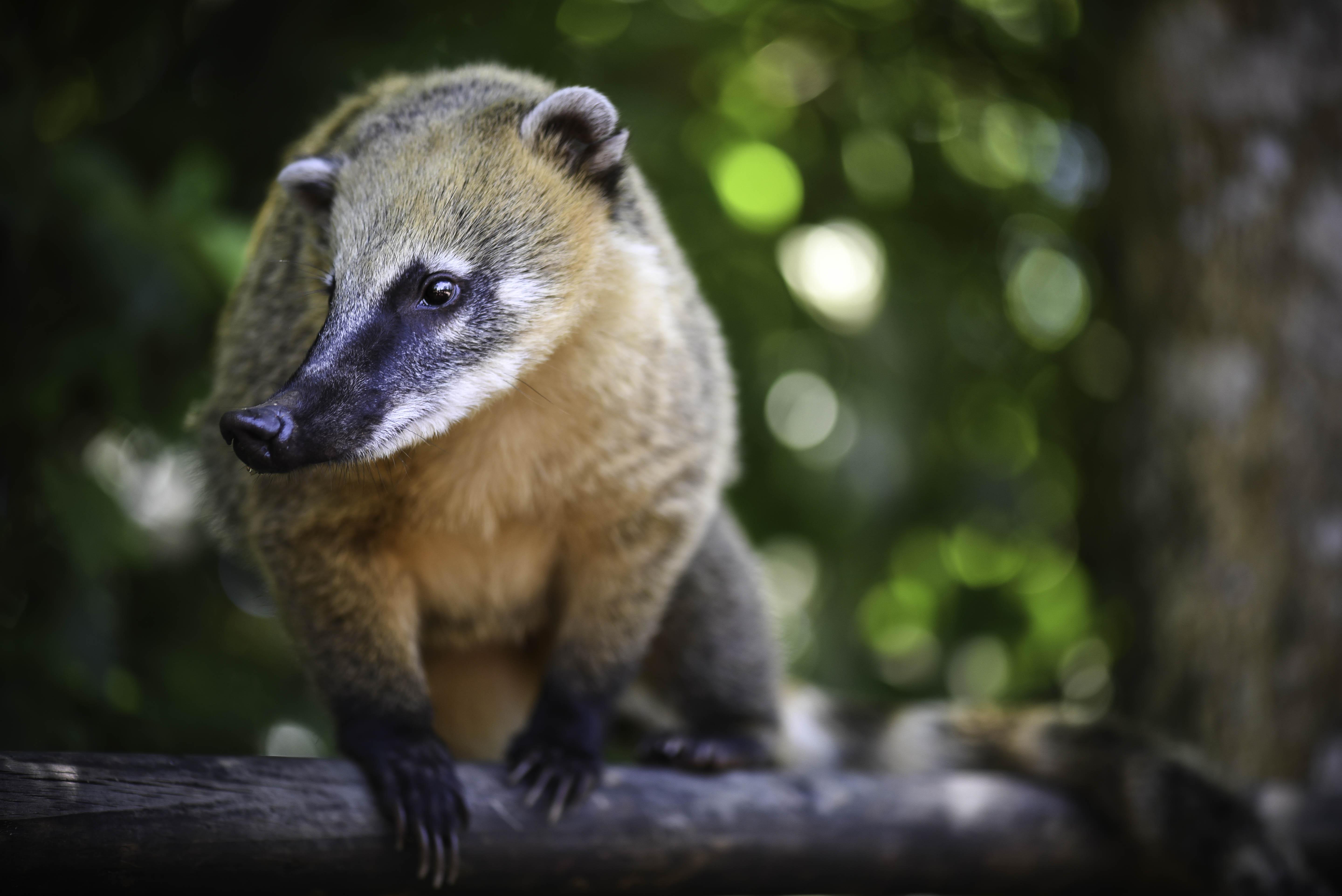 Un Coati sauvage à Iguazù