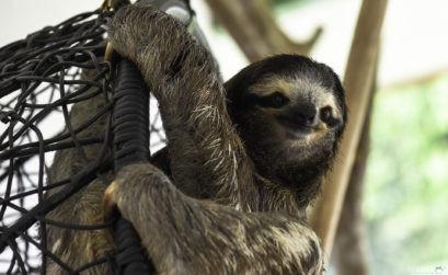 Buttercup est la mascotte de Sloth Sanctuary
