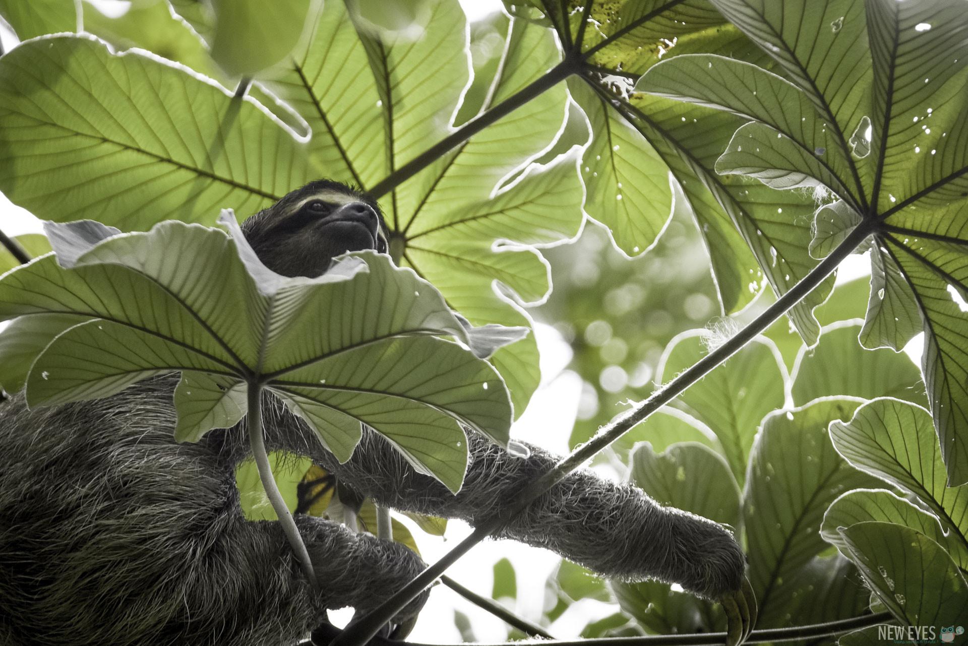 Paresseux sauvage à 3 doigts, vu au Panama