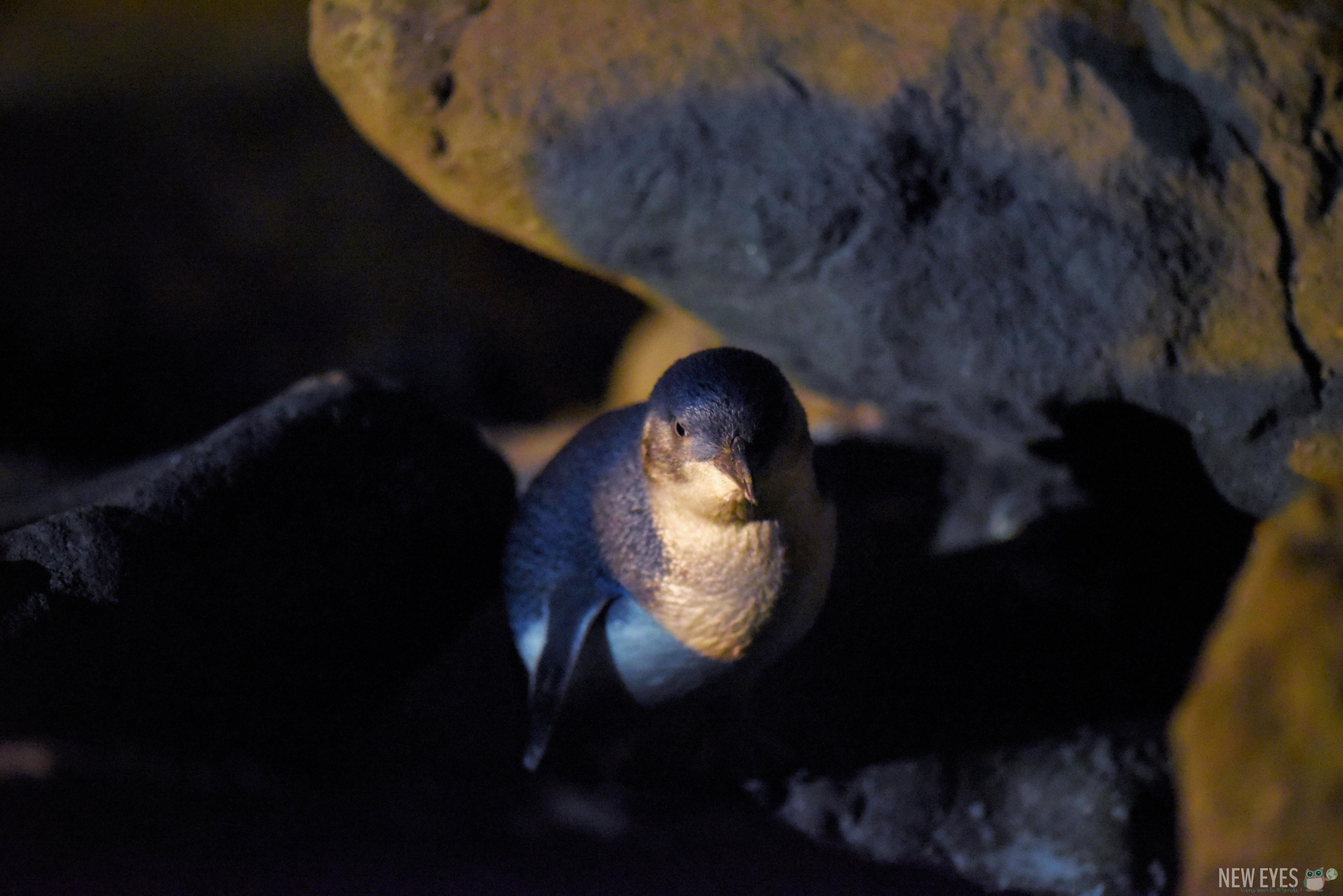Un Manchot Pygmée dans son nid à Timaru @neweyes