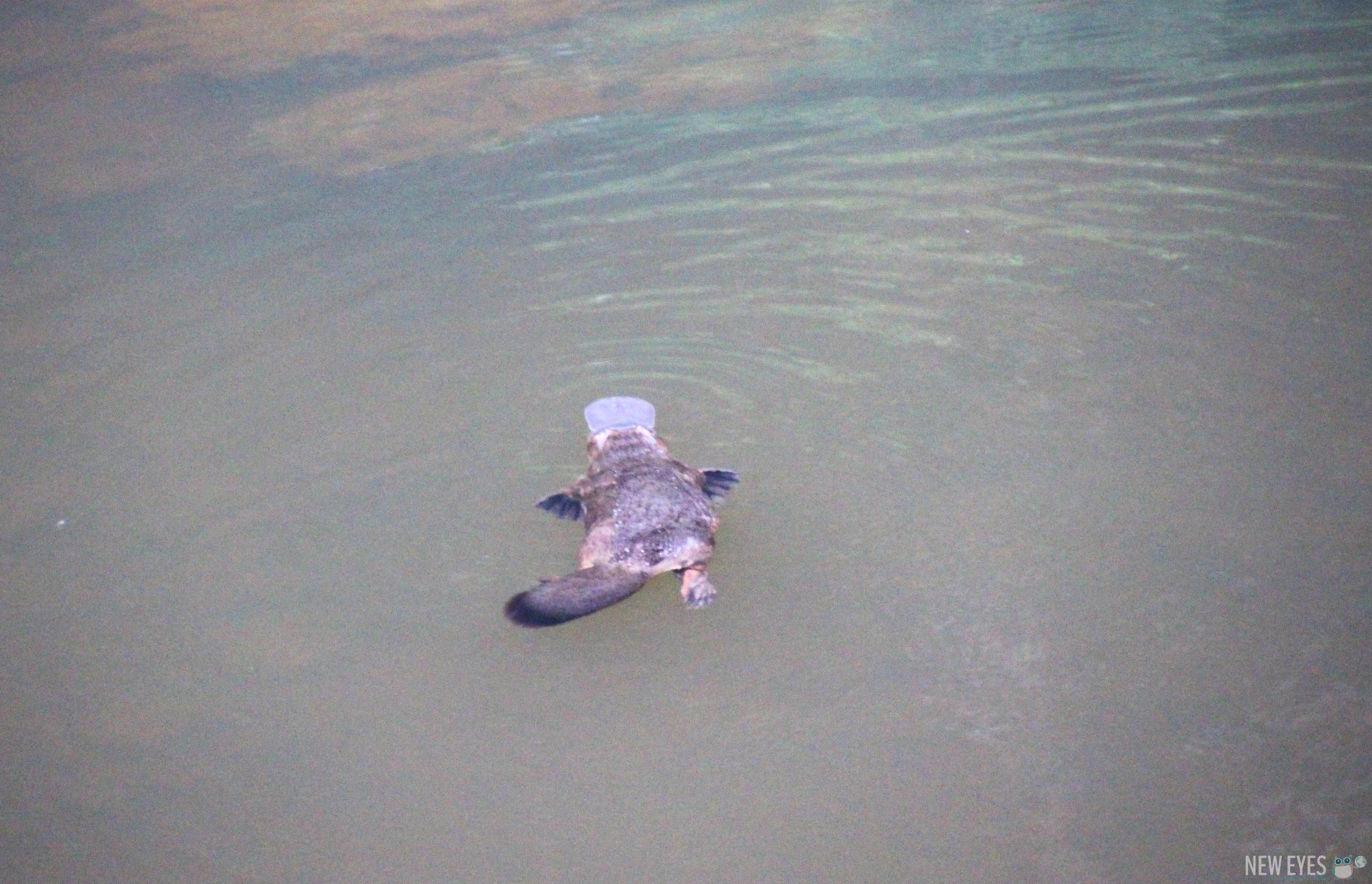 Un platypus sauvage en Australie @neweyes