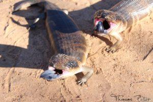 Deux scinques rugueux en Australie ©Neweyes