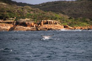 la queue d'une baleine