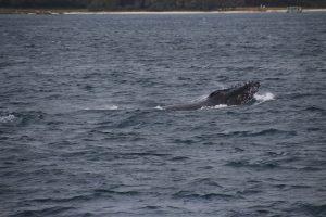 La tête d'une baleine