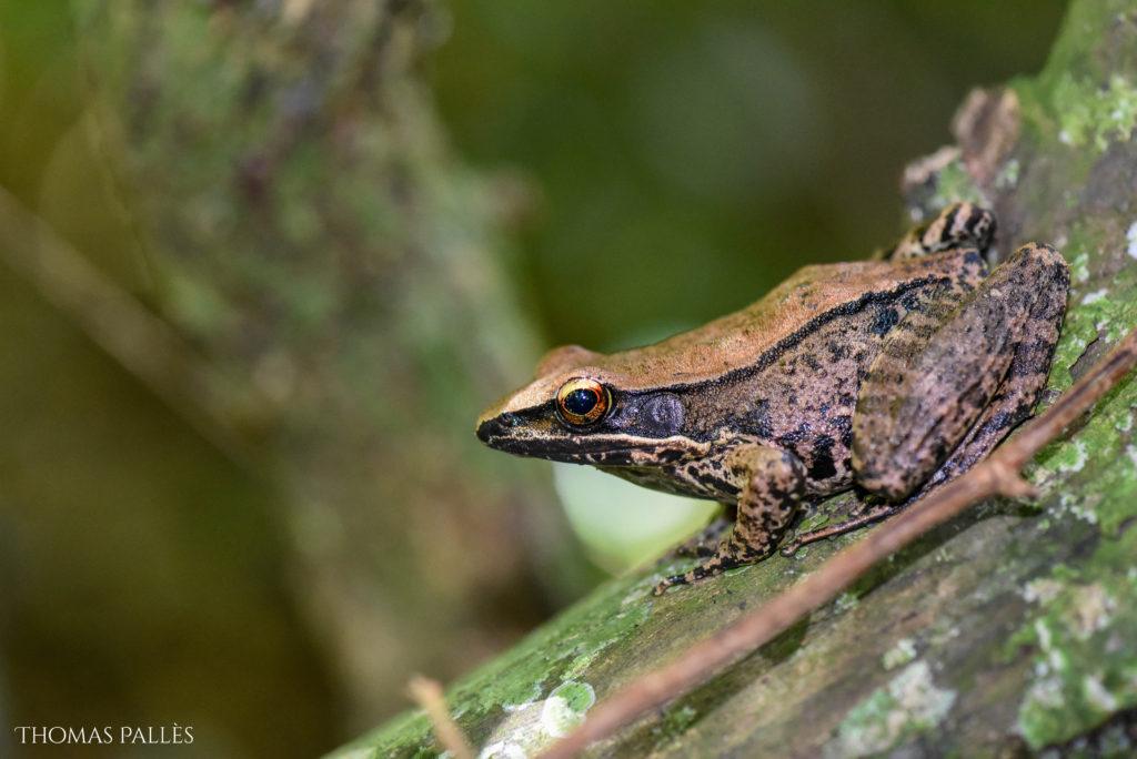 Une grenouille agile en Thaïlande @neweyes