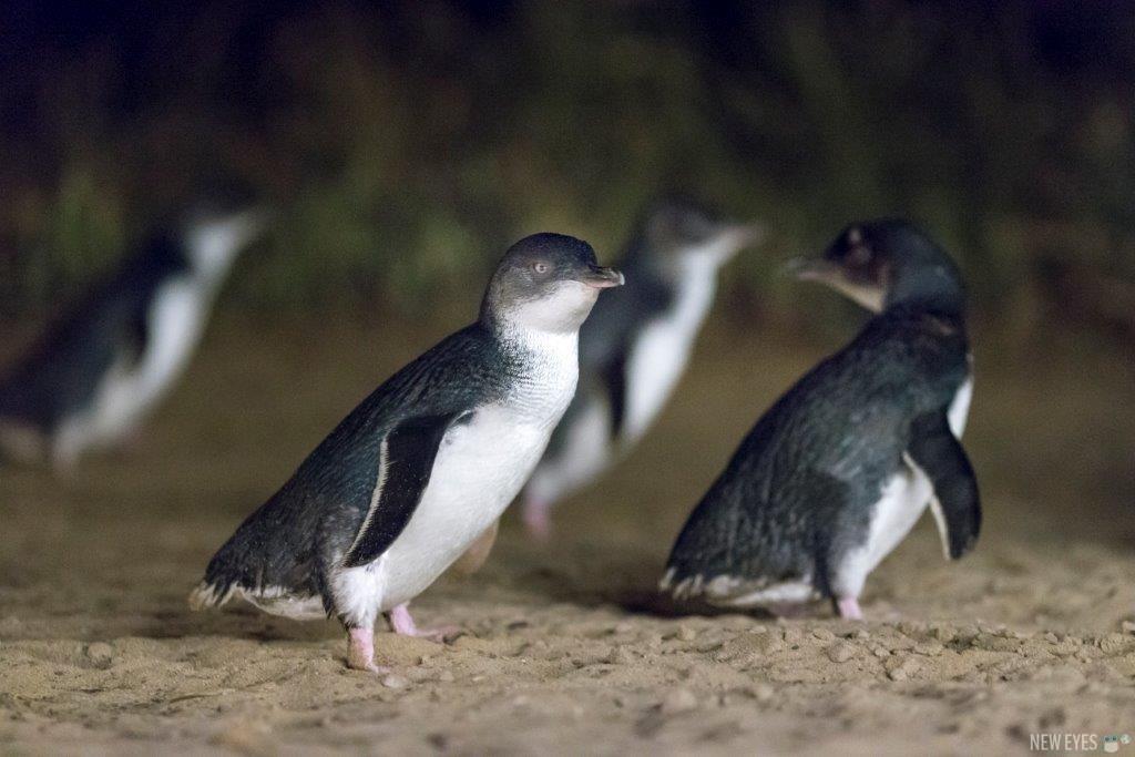 Voir des manchots pygmées en Australie